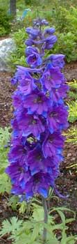 Dark Blue/Dark Bee