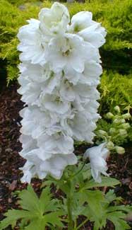 Paghat S Garden Delphenium X Elatum Magic Fountain Pure