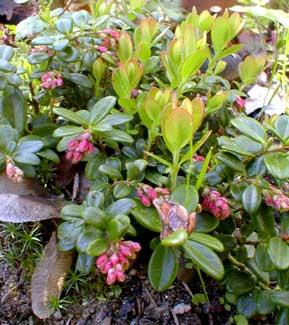 Dwarf Lingonberry