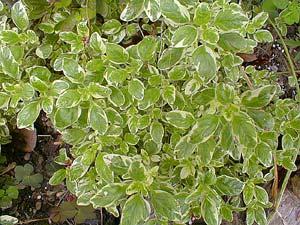 Tricolored Marjoram