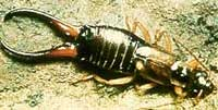 http://www.paghat.com/images/earwig.jpg