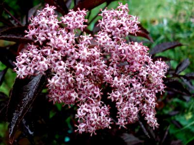 Gerda Elderberry
