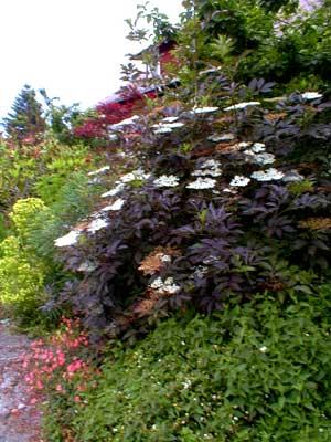 paghat 39 s garden sambucus nigra 39 purpurea 39. Black Bedroom Furniture Sets. Home Design Ideas