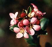 Escallonia bloom