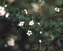 Escallonia summer bloom