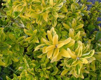 E. japonica