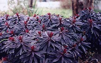 Purple Wood Spurge