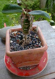 Euphorbia neohumberti