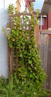 Evergreen Hydrangea