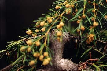 Juniper fruit