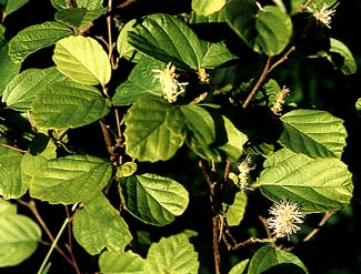 Fothergilla Bloom