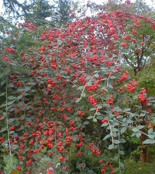 Franchet's Cotoneaster
