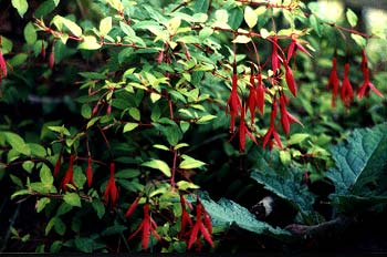Golden Fuchsia