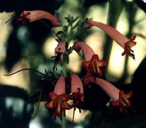 Upright fuchsia