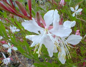 Paghats Garden Gaura Lindheimeri Whirling Butterfly