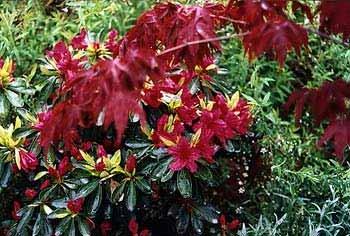 'Girard's Crimson' Azalea