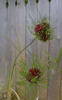 Allium Drumstickflowers on More Normal Looking Drumstick Allium Or Roundheaded Leek   Allium