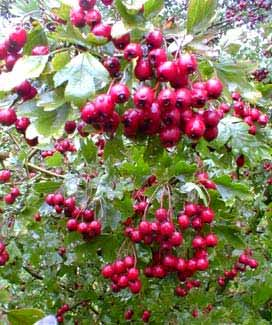 Hawthorn's Autumn berries