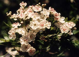 Hawthorn's May flowers