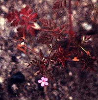 Herb Robert bloom