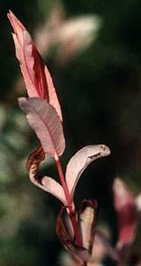 Nishiki summer leaf
