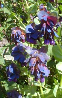 Blue Honeywort