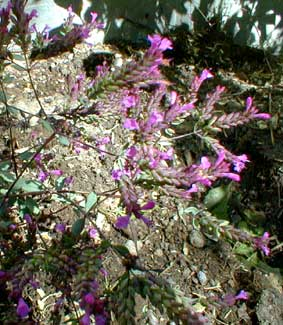 Hopley's Purple