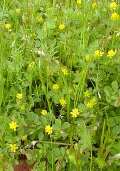 Paghats garden trifolium dubium hops clover mightylinksfo