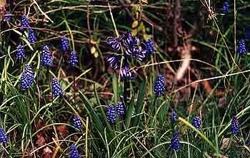 Roman Hyacinth