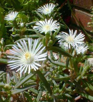 White Iceplant