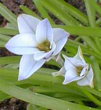 Ipheion