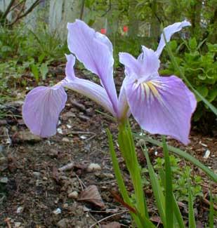 Toughleaf Iris