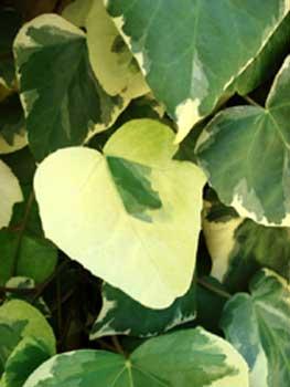 Variegated Algerian Ivy
