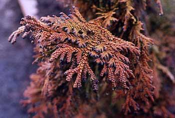 Elkhorn Cypress