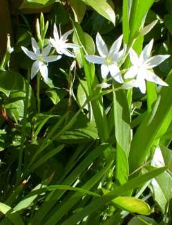 White Kaffir Lily