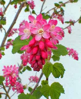 Ribes sanguineum king edward vii flowering currant or red winter currant mightylinksfo