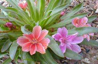 Little Plum Lewisia