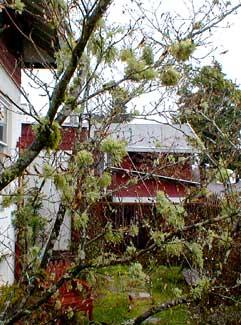 Lichen in Maple