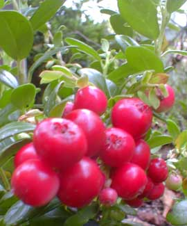 Balsgard Lingonberry