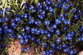 Paghats garden lithodora diffusa grace ward grace ward lithodora a prostrate groundcover mightylinksfo