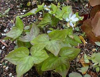 Paghat&#39;s Garden: Hepatica nobilis var acuta, Pallid Blue