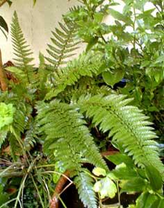Long-eared fern