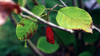 Magnolia Pod
