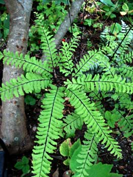 Western Maidenhair