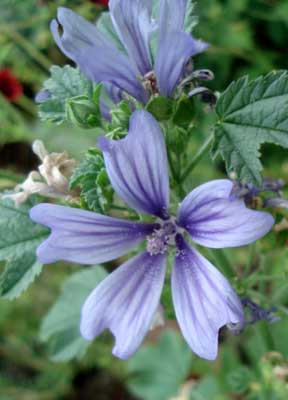 Image result for blue malva flower