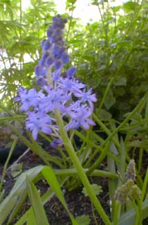 Meadow Squill