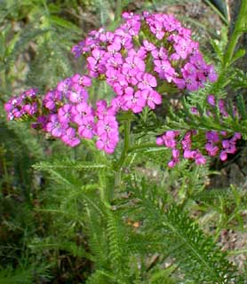 Lavender Yarrow
