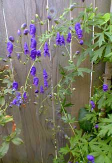 sparks monkshood - Vining Flowers