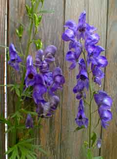 European Monkshood