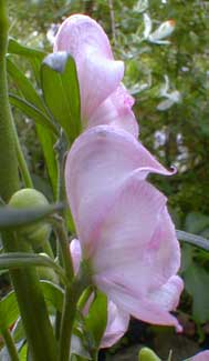 Pink Monkshood